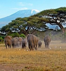 Kudde olifanten aan de voet van de Kilimanjaro