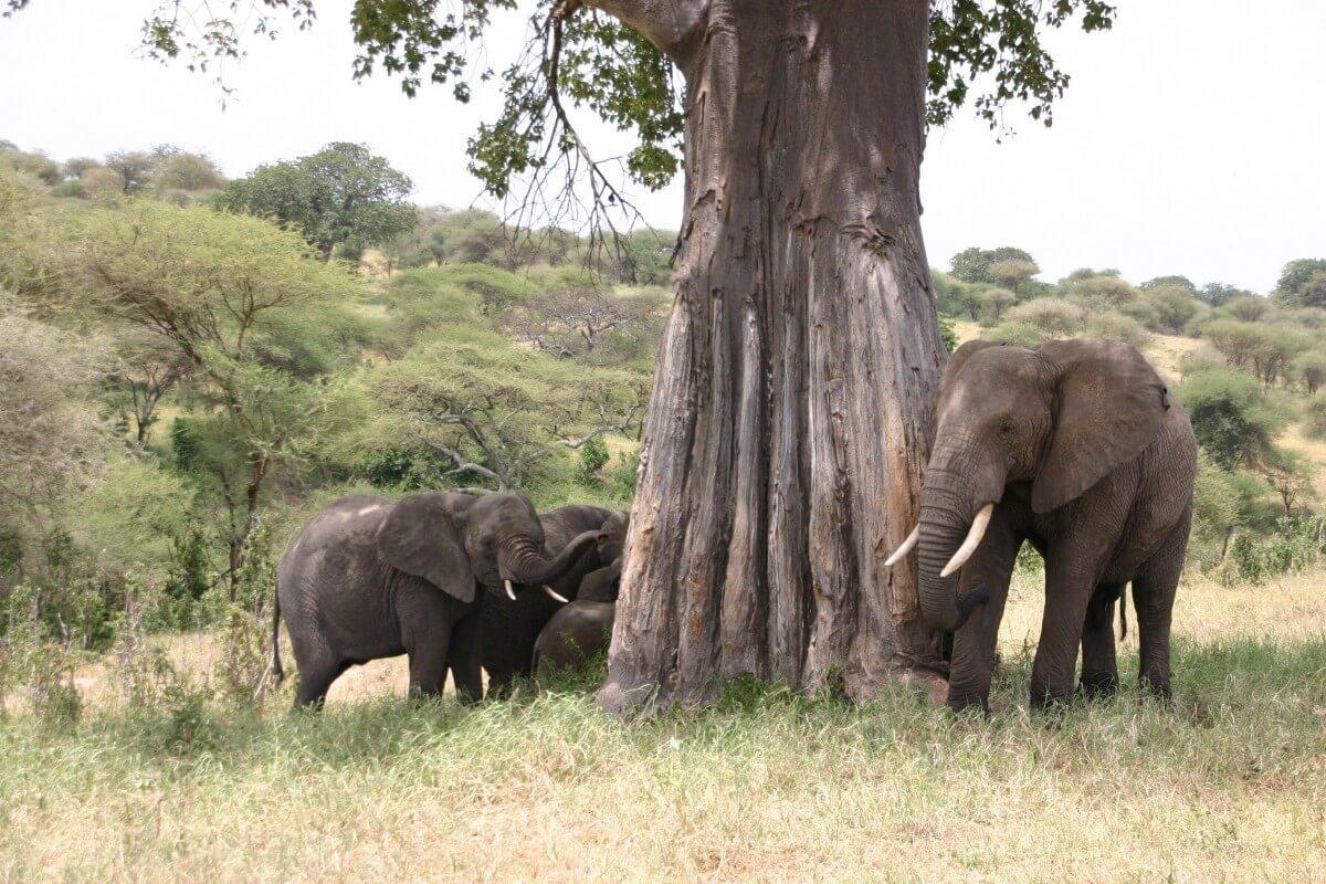 Olifanten in het Tarangire NP