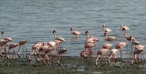 Flamingo's Momela meer