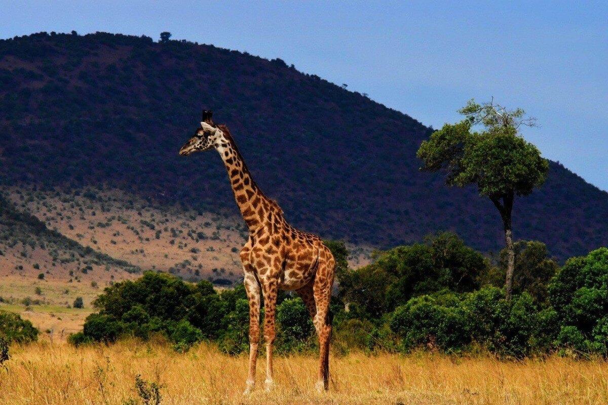 Serengeti park giraffe
