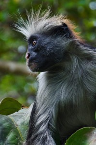 red colobus ape